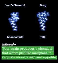 Brain. Chemistry and marijuana