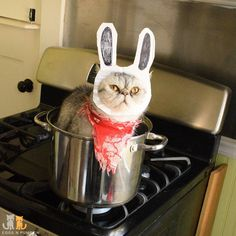 A more accurate reenactment of the  Fatal Attraction scene with a white not orange #rabbit and a steel pot instead of a red #lecreuset  #exoticshorthair #cat #cute #flatface #kitten #meow #pet #mreggs #catlover #exoticsofinstagram #smushface #weeklyfluff