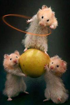 cirque du soleil hamsters xD