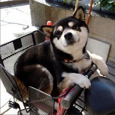My ideal partners in crime. a shiba inu and a good bicycle Baby Animals, Funny Animals, Cute Animals, Cute Puppies, Dogs And Puppies, Pet Dogs, Dog Cat, Doggies, Tier Fotos