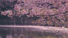 Ammirate il Giappone tingersi di rosa durante la fioritura dei suoi ciliegi #Hanami