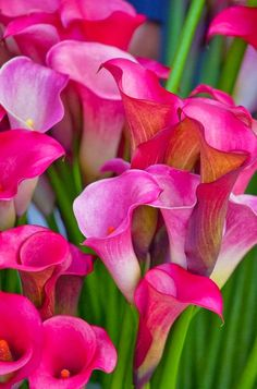 Pink Cannas love the color of these