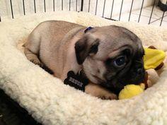 Awwww, don't be sad li'l puggy ~ re-pinned by pugpersonalchecks.com