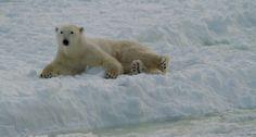 polar bears, bear intern, school polar, polar babi