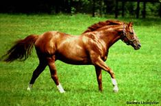 "Secretariat aka ""Big Red"" (1970-1989),  This was my hero horse! Would love to have a horse with a heart like his!"