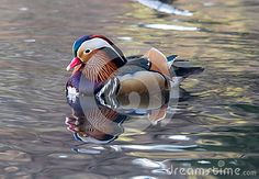 The wonderful colors of this duck
