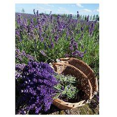 Schilderij canvas Lavendel in mand 29x22 cm | goedkoop kopen € 2,50 | Schilderijen | Wonen | Online Winkel | Discount Postorder Warenhuis Budgetland