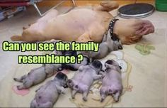 Family Nap Attack Doggy Edition - Funny pictures and memes of dogs doing and implying things. If you thought you couldn't possible love dogs anymore, this might prove you wrong. Cute Funny Animals, Funny Animal Pictures, Funny Cute, Funny Dogs, Hilarious, Animal Pics, Cute Puppies, Cute Dogs, Dogs And Puppies