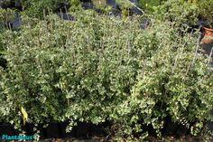 Plantas de hiedra en maceta. http://www.plantamus.es/comprar-plantas-cubresuelos-enredaderas
