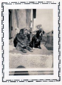 Rex the Boston Terrier - Vintage Boston Terrier Photo
