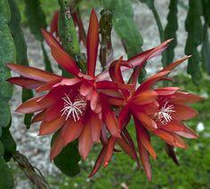 Epiphyllum Carolina von Stiedl