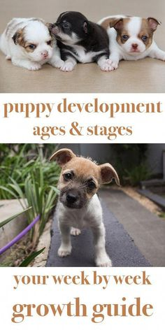 This guide to puppy development stages will show you what to expect from your puppy as he grows, includes growth charts and a detailed week by week guide art breeds cutest funny training bilder lustig welpen Dog Clicker Training, Puppy Training Tips, Training Your Dog, Training Collar, Leash Training, Crate Training, Agility Training, Kennel Training A Puppy, Training Kit