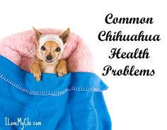 Although Chihuahuas are the most long lived dog breed, they are prone to some genetic health issues. Here is what you need to know. Chihuahua Breeds, Chihuahua Love, Chihuahua Puppies, Baby Puppies, Dog Breeds, Chihuahuas, White Chihuahua, Teacup Puppies, Puppy Care