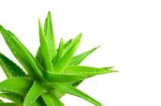 Sàbila > (Aloe Vera) LUZ NATURAL Para mantenerla en buenas condiciones, toma en cuenta que no debes regarla de forma continua, bastará con hacerlo cada 15 o 20 día utilizando poca agua