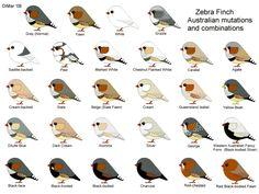 Zebra Finch Mutations | by jeffreymelvinread » Fri Dec 03, 2010 1:09 am