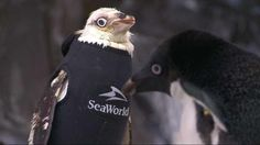 A penguin at SeaWorld who lost her feathers now has a specially designed wetsuit.