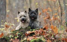 Autumn Cairn terriers