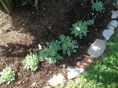 Papaver dalhianum en spetsbergs vallmo som blommar med vita blommor med gul mitt. Jag har drivit upp dessa plantor från frön.