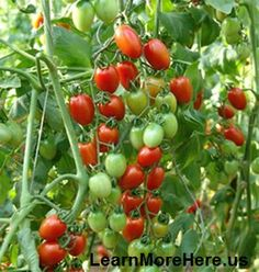 Grow your own fresh tasty tomatoes in the winter. Here are simple step by step directions.  ENJOY