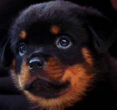 Will you love me? I won't be scared when I'm big.  Rottie pup