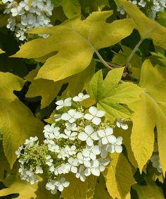'Little Honey' Oakleaf Hydrangea (Hydrangea quercifolia 'Little Honey')