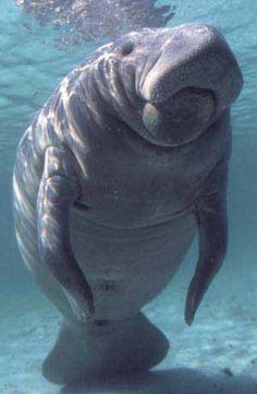 This is like a big, underwater Beef.  No lie though, I want to swim with manatees.