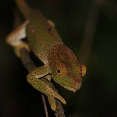 In place of the best pictures we have a big one, i think its a panther chameleon, balancing on a twig. David Dawson, Things To Think About, Good Things, Chameleon, Madagascar, Reptiles, Panther, Big, Instagram Posts