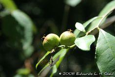Sebastiania brasiliensis - Branquilho-leiteiro. Fruto tricoca. Flora Digital do Rio Grande do Sul e de Santa Catarina: Sebastiania brasiliensis
