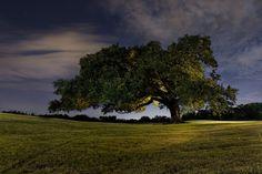Olmstead Tree