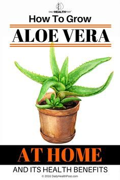 Aloe Vera is a member of the Old World succulent group known as Aloaceae.    The plant has numerous healing properties and has been used across many continents for thousands of years.