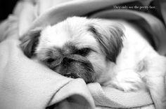 Pekingese #dogs #Pekingese