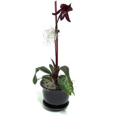 Black orchid flower  Paphiopedilum Raisin Pie