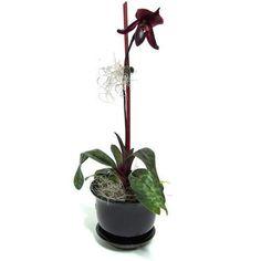 Black orchid flower  Paphiopedilum Raisin Pie