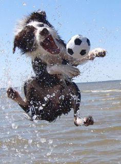border collie play ball