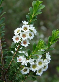 Thryptomene Calycina 'Little Treasure' Grows: x Flowers: May- Aug Frost tender in early years, shelter under tree or cover. Requires light soil, NO lime and full sun to partial shade. Can be cultivated from a cutting Australian Wildflowers, Australian Native Flowers, Australian Plants, Exotic Flowers, Amazing Flowers, White Flowers, Beautiful Flowers, Bush Garden, Moon Garden