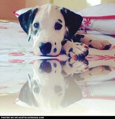 Dalmatian #puppy. #cute #dogs