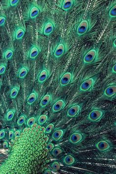 DotsOnCreatures (peacock feathern)