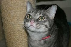 Ruthie is a silver-gray tabby who was surrendered due to mitigating circumstances. She is a sweet 2 year old girl