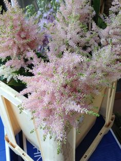 Astilbe 'Europa' such a delicate soft pink! Sold in bunches of 10 stems from the Flowermonger the wholesale floral home delivery service.