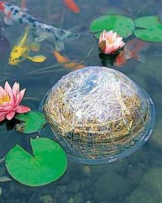 Barley straw cleans ponds and it's safe for fish.