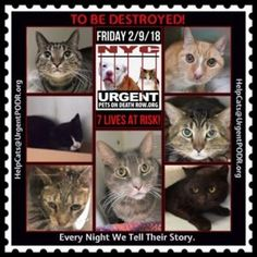 TO BE DESTROYED 02/09/18http://nyccats.urgentpodr.org/tbd-cats-page/