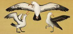 Katie Scott - Albatross. From Animalium, 2014