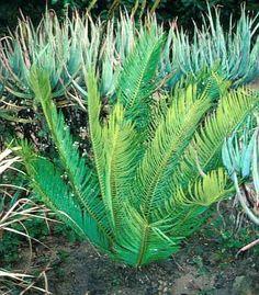 Encephalartos Aemulans            3 m       S A no14,5