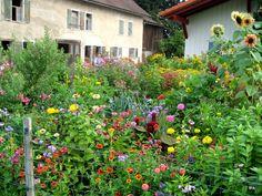 Gartenpflanzen-und-blueten/Astern-Korbbluetler/Allgaeuer-Bauerngarten-im-Fruehherbst-