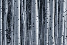$128.63 Wall Mural of Aspen Birch Forest