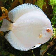 discus albino | Discus Albino Blue Diamond                                                                                                                                                                                 More