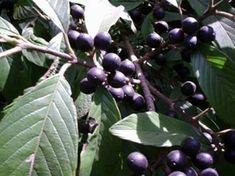 SARAGUAJÍ (Rhamnidium elaeocarpum) // (nov-fev) // Os frutos são roxos, com casca fina, com polpa liquida esverdeada, lembrando sabor de bala de Tutti-frutti, muito apreciados para o consumo in-natura, embora tenha pouca polpa. As sementes também são comestíveis. As flores produzem bastante néctar para as abelhas silvestres. Recomendo o plantio, pois o Saraguají atrai grande numero e varias espécies de passarinhos.
