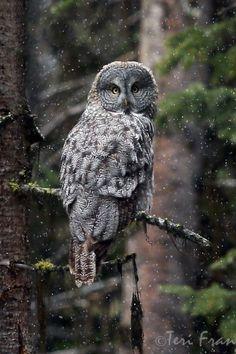Winter gallery: 10 great photos of Great Gray Owl - BirdWatching  #owl