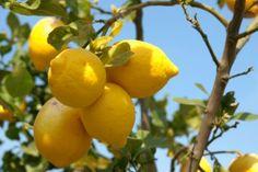Zitronenbaum Erde