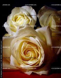 http://www.photaki.com/picture-white-roses-on-table_34438.htm